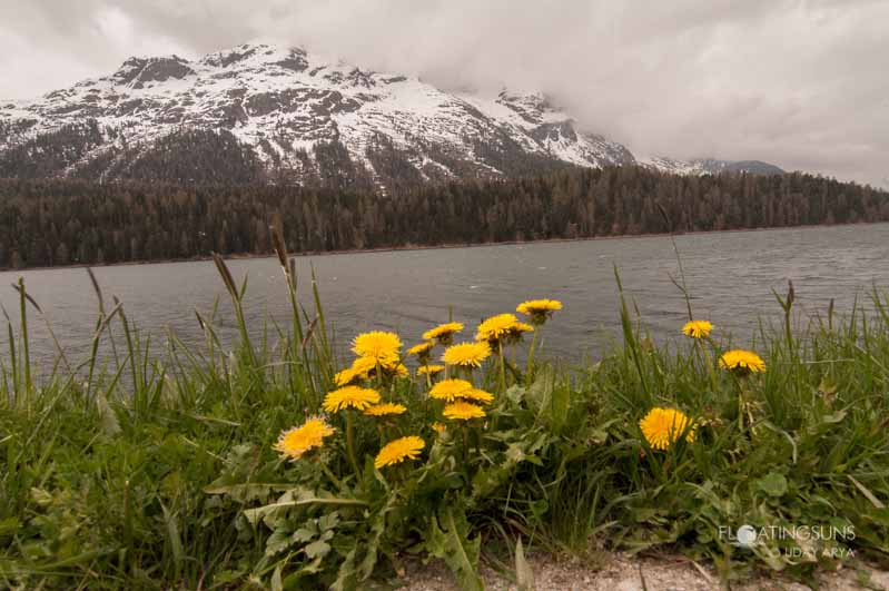 Yellow flowers along the lake at St Moritz, set against the beautiful Swiss alps covered in snow